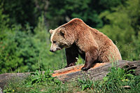 Brown bear in the Bavarian Forest National Park